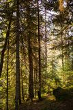 Κωνοφόρο δάσος στην αυγή Στοκ Εικόνες