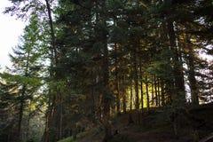 Κωνοφόρο δάσος στην αυγή Στοκ Φωτογραφία