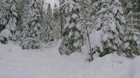 Κωνοφόρο δάσος το χειμώνα, πεύκο που καλύπτεται με το χιόνι, κρύο χειμερινό τοπίο απόθεμα βίντεο