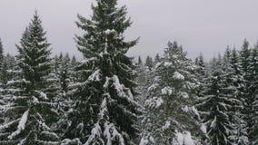 Κωνοφόρο δάσος το χειμώνα, πεύκο που καλύπτεται με το χιόνι, κρύο χειμερινό τοπίο φιλμ μικρού μήκους