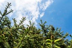 Κωνοφόρο δέντρο από κάτω από στοκ εικόνες με δικαίωμα ελεύθερης χρήσης
