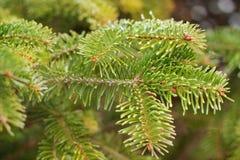 κωνοφόρο δέντρο κλάδων Στοκ Φωτογραφίες