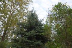 Κωνοφόρο δέντρο στο πάρκο στοκ εικόνα