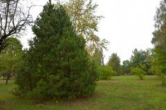 Κωνοφόρο δέντρο στο πάρκο στοκ εικόνες