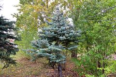Κωνοφόρο δέντρο στο πάρκο στοκ φωτογραφία