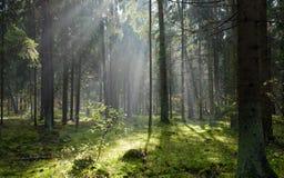 κωνοφόρο εισγμένος δασ&iota Στοκ φωτογραφία με δικαίωμα ελεύθερης χρήσης