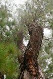 Κωνοφόρο στο δάσος ομίχλης στοκ εικόνα με δικαίωμα ελεύθερης χρήσης