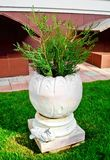 Κωνοφόρο φυτό σε ένα διακοσμητικό δοχείο Στοκ φωτογραφίες με δικαίωμα ελεύθερης χρήσης