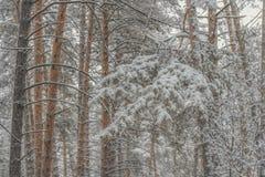 Κωνοφόρο χιονώδες παγωμένο δάσος πεύκων το χειμώνα στοκ εικόνες με δικαίωμα ελεύθερης χρήσης