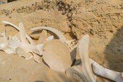 Κόκκαλα φαλαινών στην άμμο στην ακτή παραλιών Στοκ φωτογραφία με δικαίωμα ελεύθερης χρήσης