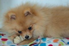 Κόκκαλο δαγκωμάτων σκυλιών Pomeranian στοκ εικόνες με δικαίωμα ελεύθερης χρήσης