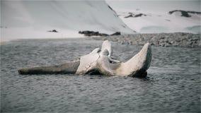 Κόκκαλο ενός σκελετού φαλαινών απόθεμα βίντεο