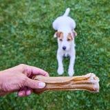 Κόκκαλο μασήματος σκυλιών τεριέ εφημερίων του Jack Russell Στοκ φωτογραφία με δικαίωμα ελεύθερης χρήσης