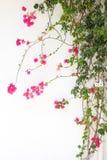 Κόκκινα άνθη λουλουδιών Bougainvillea Στοκ εικόνα με δικαίωμα ελεύθερης χρήσης