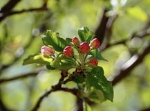 Κόκκινα άνθη οφθαλμών δέντρων της Apple στοκ φωτογραφία με δικαίωμα ελεύθερης χρήσης