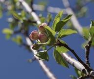 Κόκκινα άνθη οφθαλμών δέντρων της Apple στοκ εικόνα με δικαίωμα ελεύθερης χρήσης