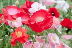 Κόκκινα, άσπρα και ρόδινα λουλούδια Papaveraceae παπαρουνών Στοκ Εικόνα