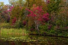 Κόκκινα δέντρα σφενδάμνου σε μια λίμνη Στοκ φωτογραφία με δικαίωμα ελεύθερης χρήσης