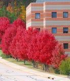 Κόκκινα δέντρα φθινοπώρου σε μια σειρά στην οδική πλευρά έξω από το κτήριο επιχείρησης Στοκ Εικόνες