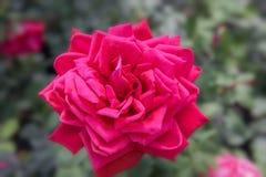 Κόκκινα αγγλικά άνθισης αυξήθηκε στον κήπο μια ηλιόλουστη ημέρα Ο Δαβίδ Ώστιν αυξήθηκε Anne Boleyn Στοκ εικόνα με δικαίωμα ελεύθερης χρήσης