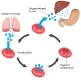 Κόκκινα αναπνοή συκώτι και στομάχι κύκλων κυττάρων αίματος επονομαζόμενα απεικόνιση αποθεμάτων