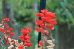 Κόκκινα ανθίζοντας φυτά Στοκ Εικόνες