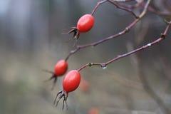 Κόκκινα δασικά φρούτα Στοκ φωτογραφία με δικαίωμα ελεύθερης χρήσης