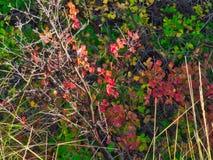 Κόκκινα βαλανιδιά φθινοπώρου και υπόβαθρο βουρτσών στοκ φωτογραφία με δικαίωμα ελεύθερης χρήσης