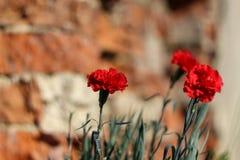 Κόκκινα γαρίφαλα σε ένα υπόβαθρο του τουβλότοιχος Στοκ Φωτογραφία