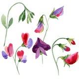Κόκκινα γλυκά λουλούδια μπιζελιών Απεικόνιση Watercolor που τίθεται στο άσπρο υπόβαθρο Απομονωμένο γλυκό στοιχείο απεικόνισης μπι διανυσματική απεικόνιση