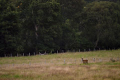 Κόκκινα ελάφια οπίσθια στο καλλιεργήσιμο έδαφος στο σκωτσέζικο Χάιλαντς στοκ εικόνα