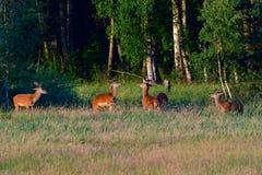 Κόκκινα ελάφια το πρωί Στοκ Εικόνες