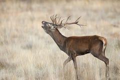 Κόκκινα ελάφια, Deers, elaphus Cervus, αρσενικό ελάφι, κόκκινος βρυχηθμός ελαφιών στοκ εικόνες με δικαίωμα ελεύθερης χρήσης