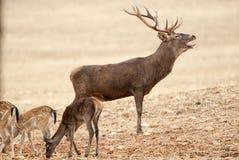 Κόκκινα ελάφια, Deers, elaphus Cervus - χρόνος αποτελμάτωσης, κόκκινος βρυχηθμός ελαφιών στοκ εικόνα