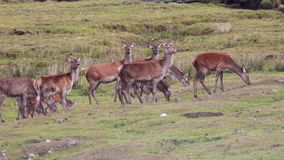 Κόκκινα ελάφια hinds, elaphus Cervus, που βόσκει στις σκωτσέζικες ορεινές περιοχές κατά τη διάρκεια της rutting εποχής απόθεμα βίντεο