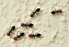 Κόκκινα επικεφαλής μυρμήγκια Στοκ φωτογραφίες με δικαίωμα ελεύθερης χρήσης