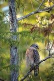 Κόκκινα επωμισμένα κυνήγια lineatus Buteo γερακιών για το θήραμα Στοκ Εικόνες