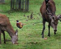 Κόκκινα ελάφια οπίσθια και αρσενικό ελάφι με το φασιανό Στοκ Φωτογραφίες