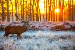 Κόκκινα ελάφια στον ήλιο πρωινού Στοκ Φωτογραφία