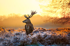 Κόκκινα ελάφια στον ήλιο πρωινού Στοκ Εικόνες