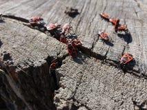 Κόκκινα ζωύφια στρατιωτών στο κολόβωμα Στοκ Φωτογραφίες