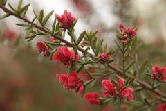 Κόκκινα, θαμνώδη λουλούδια κήπων, à ¼ skà ¼ dar στοκ φωτογραφίες με δικαίωμα ελεύθερης χρήσης