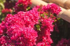Κόκκινα διακοσμητικά λουλούδια στο θερινό κήπο Στοκ Φωτογραφίες