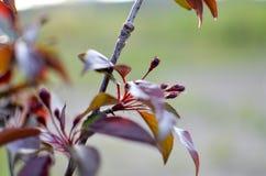 Κόκκινα διακοσμητικά φύλλα δέντρων της Apple στον κήπο Στοκ φωτογραφία με δικαίωμα ελεύθερης χρήσης