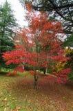 Κόκκινα ιαπωνικά φύλλα σφενδάμου στις σειρές Dandenong Στοκ φωτογραφία με δικαίωμα ελεύθερης χρήσης