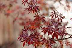 Κόκκινα ιαπωνικά φύλλα σφενδάμου Στοκ Εικόνες