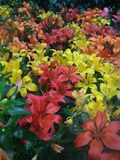 Κόκκινα, κίτρινα, πράσινα, πορτοκαλιά, πορφυρά όμορφα λουλούδια Στοκ φωτογραφία με δικαίωμα ελεύθερης χρήσης