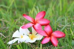 Κόκκινα και άσπρα λουλούδια Plumeria όμορφα Στοκ Εικόνες