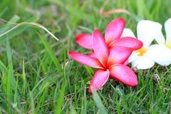 Κόκκινα και άσπρα λουλούδια Plumeria όμορφα Στοκ φωτογραφία με δικαίωμα ελεύθερης χρήσης