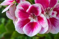 Κόκκινα και άσπρα begonia λουλούδια στοκ φωτογραφίες